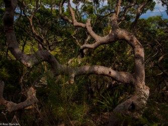 Native tree scene.