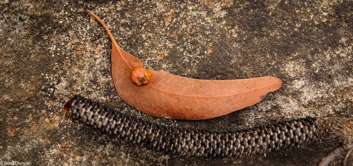 Dried gum leaf and seed pod along the track.