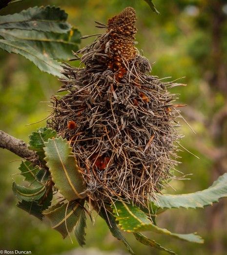 A Banksia Brush.